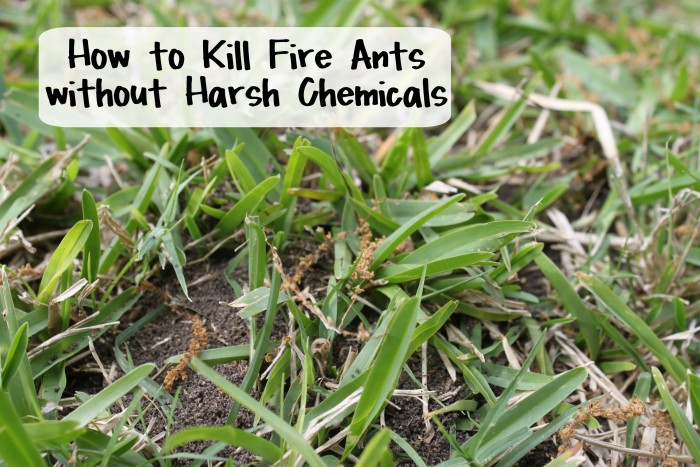 How to Kill Fire Ants without Harsh Chemicals - Natural Solutions